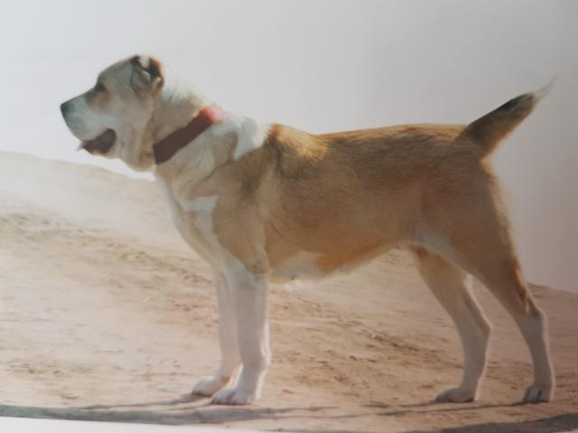 Собака. Среднеазиатская овчарка (Алабай). Продаю в Минске