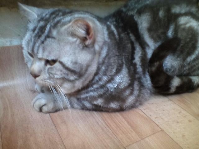 Кошка. Британская короткошерстная. Вязка в Костроме