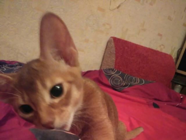 Кошка. Абиссинская. Продаю в Уфе