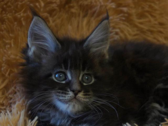 Кошка. Мэйн-кун . Продаю в Петергофе
