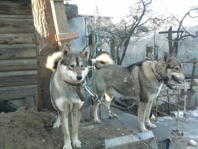 Собака. Западносибирская лайка. Продаю в Раменском