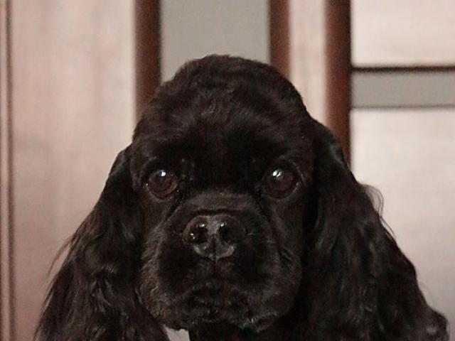 Собака. Американский кокер спаниель. Продаю в Минске