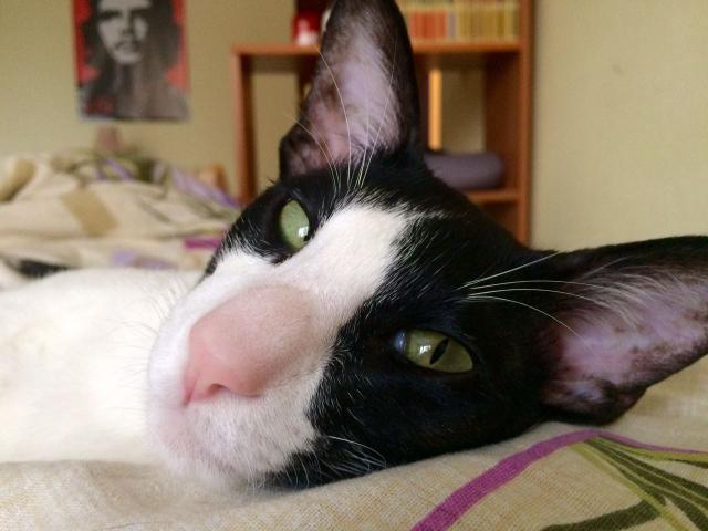 Кошка. Ориентальная (короткошерстная). Вязка в Раменском