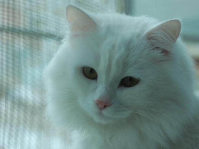 Кошка. Турецкая ангора. Вязка в Ростове-на-Дону
