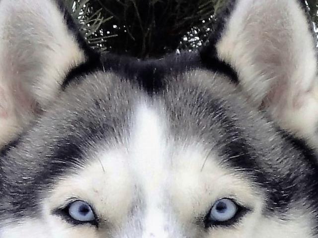 Собака. Сибирский хаски . Вязка в Москве