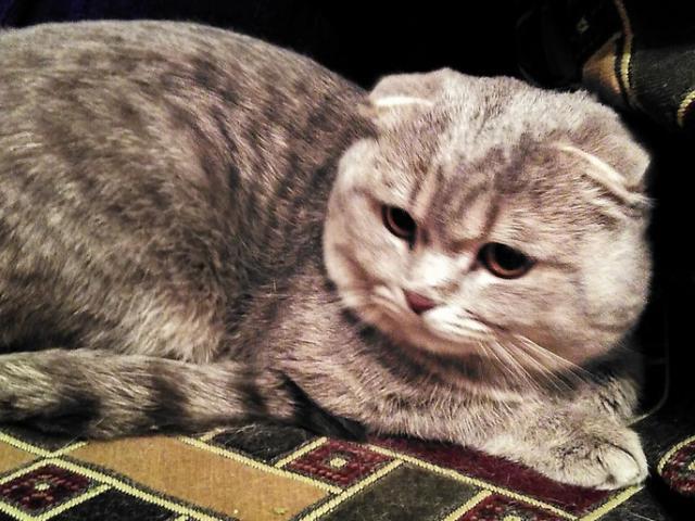Кошка. Британская короткошерстная. Отдам в дар в Санкт-Петербурге