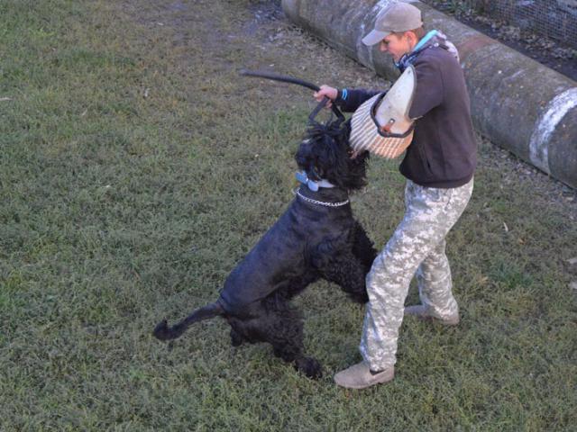 Собака. Русский черный терьер. Продаю в Краснодаре