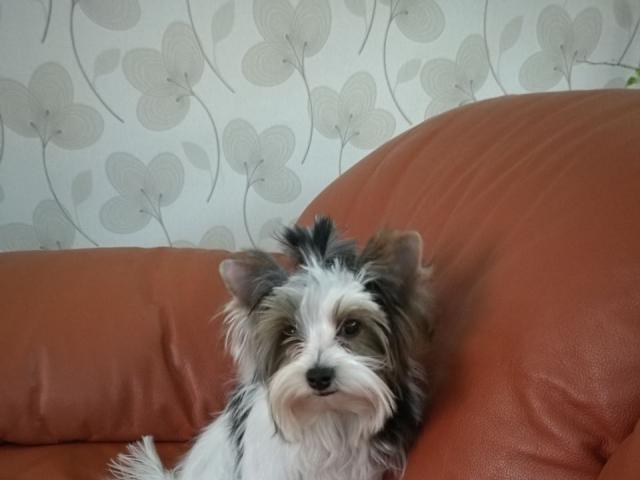 Собака. Бивер йоркширский терьер. Потеря/Находка в Нижнем Новгороде