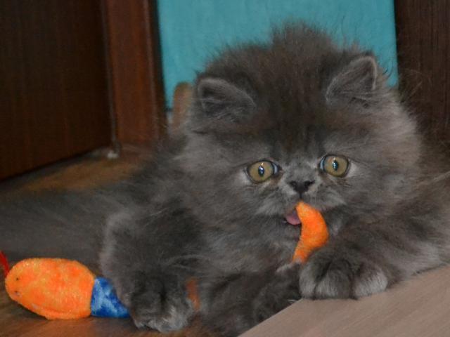Кошка. Персидская. Продаю в Санкт-Петербурге