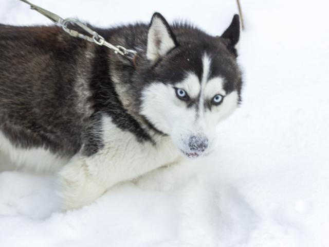 Собака. Сибирский хаски . Вязка в Новосибирске