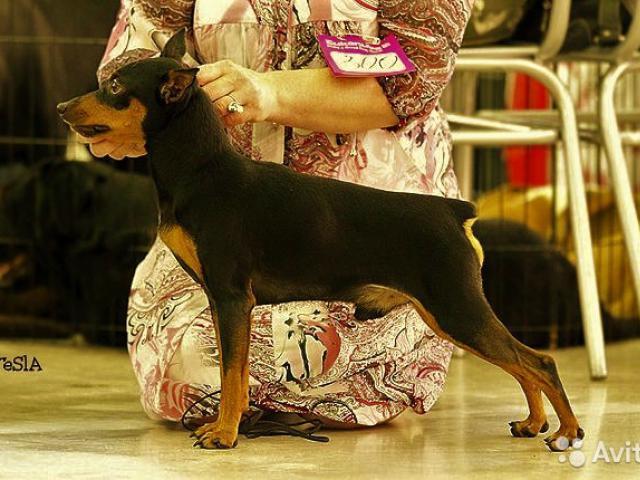 Собака. Цвергпинчер. Продаю в Новосибирске