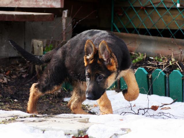 Собака. Немецкая овчарка. Продаю в Москве