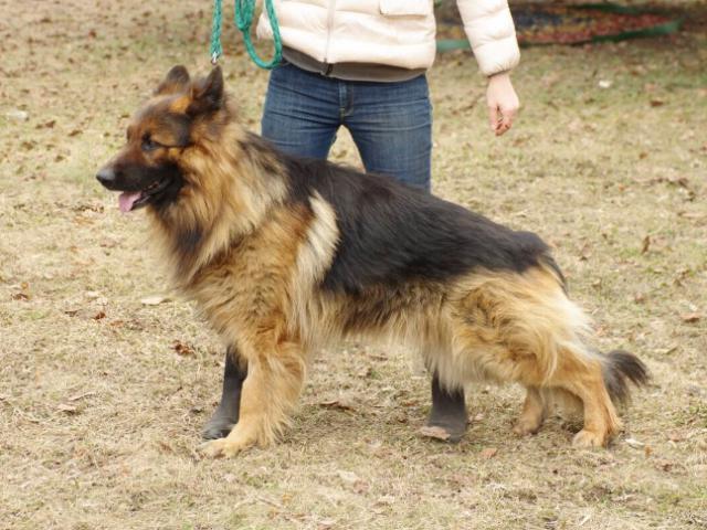 Собака. Немецкая овчарка. Отдам в дар в Москве