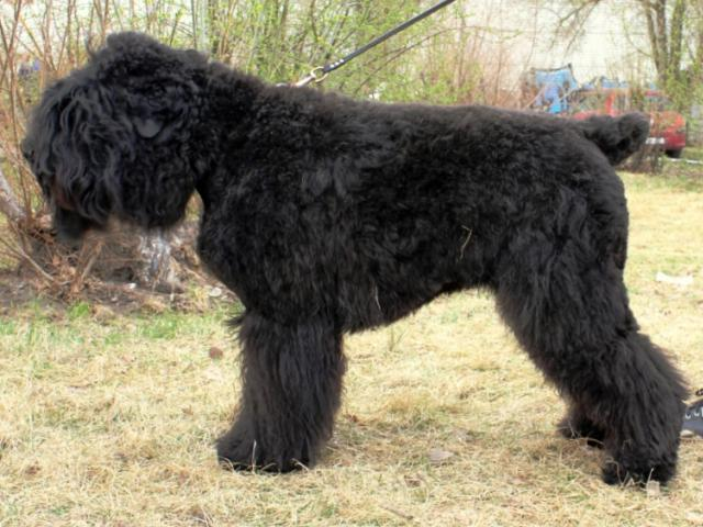 Собака. Русский черный терьер. Продаю в Красноярске