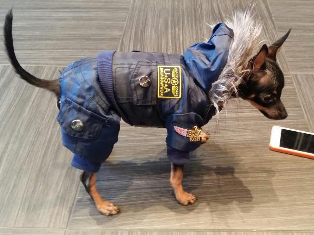 Собака. Русский той терьер. Вязка в Москве