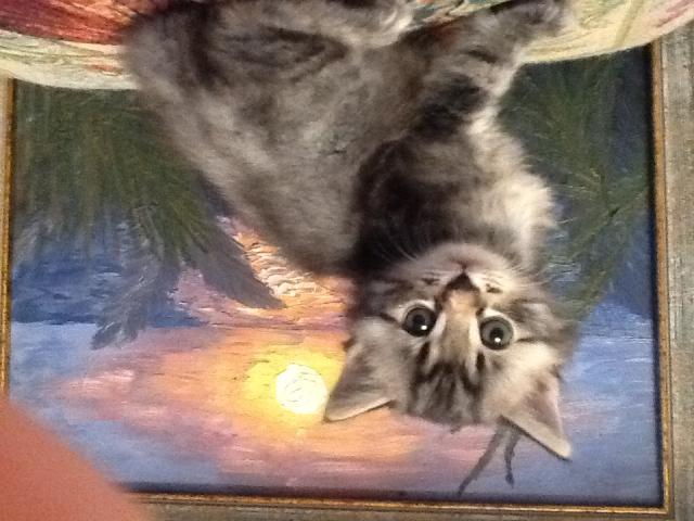 Кошка. Курильский бобтейл. Продаю в Санкт-Петербурге