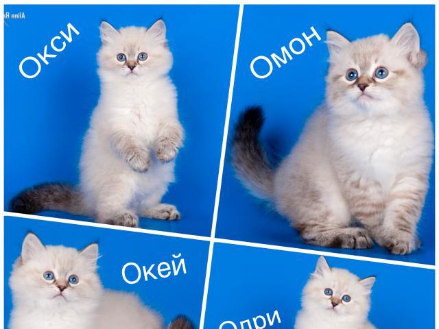 Кошка. Невская маскарадная. Продаю в Москве
