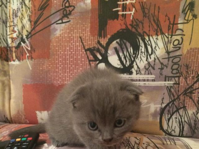 Кошка. Шотландская вислоухая (короткошерстная). Продаю в Иркутске