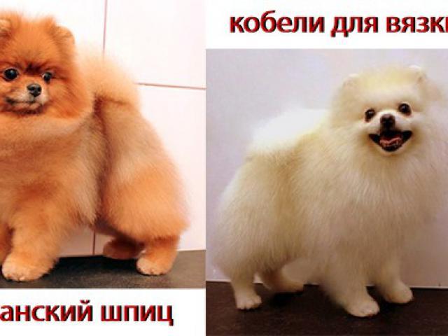 Собака. Немецкий шпиц карликовый (померанский). Вязка в Москве