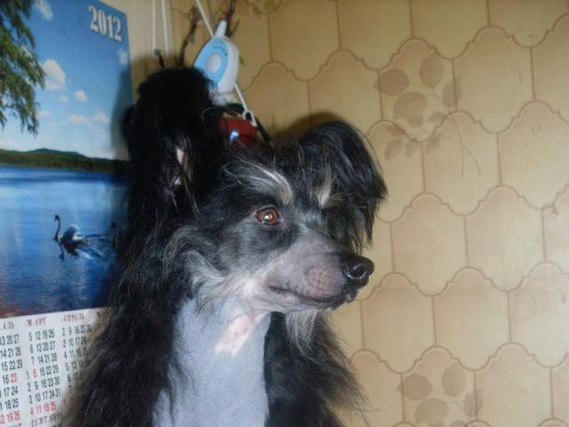 Собака. Китайская хохлатая собака . Отдам в дар в Москве