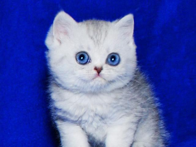 Британский серебристый Юджин с изумрудными глазами