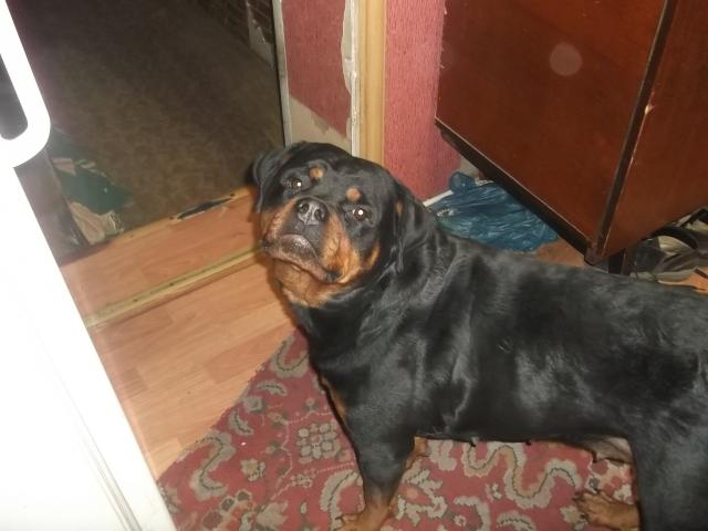 Собака. Ротвейлер. Вязка в Омске