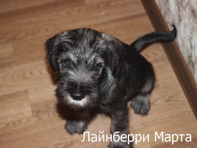 Собака. Миттельшнауцер . Продаю в Новосибирске