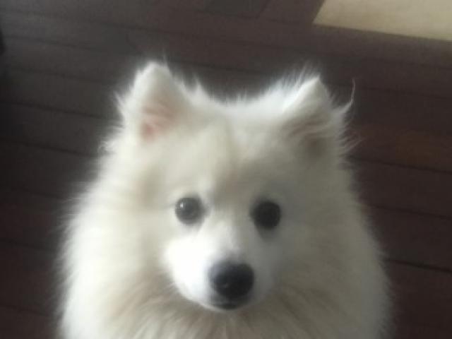 Собака. Японский шпиц . Вязка в Москве