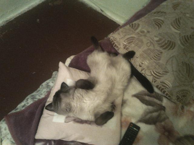 Кошка. Сиамская. Вязка в Челябинске