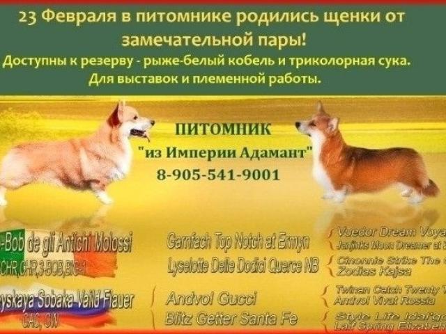 Собака. Вельш Корги Пемброк. Продаю в Москве
