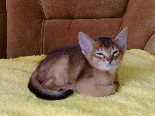 Кошка. Абиссинская. Продаю в Брянске