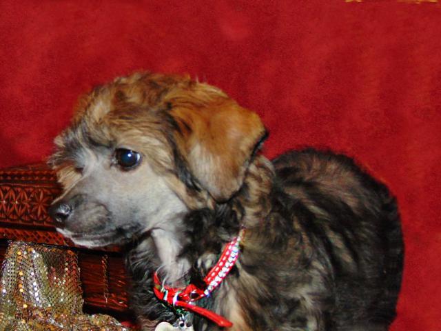 Собака. Китайская хохлатая собака . Продаю в Пушкине