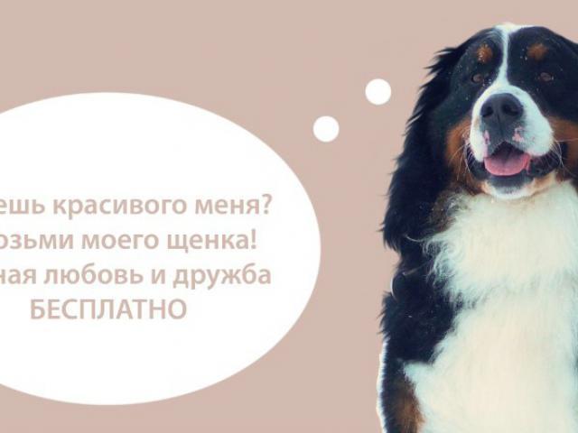 Собака. Бернский зенненхунд. Продаю в Белгороде