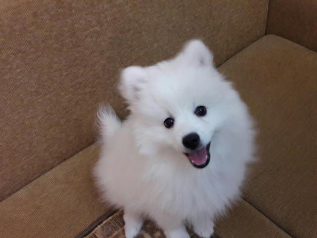 Собака. Японский шпиц . Продаю в Перми