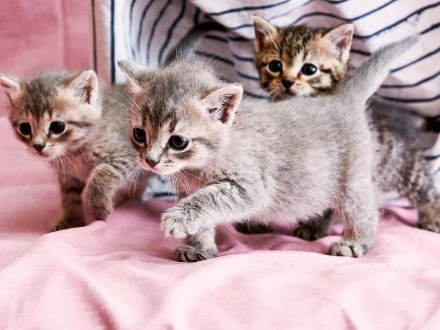 Кошка.  Беспородные и метисы . Отдам в дар в Санкт-Петербурге
