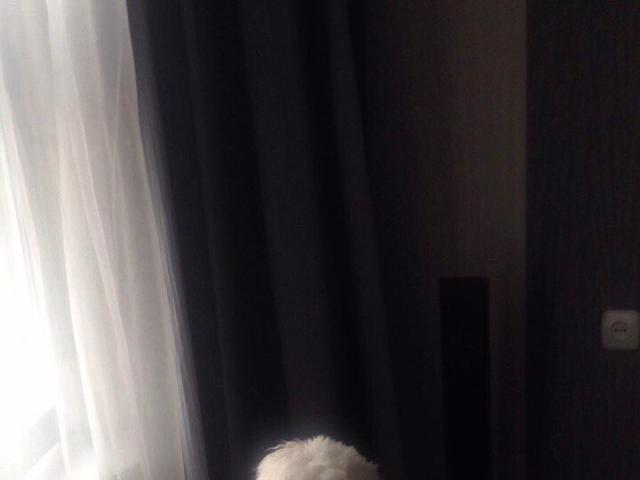 Собака. Мальтезе. Вязка в Минске