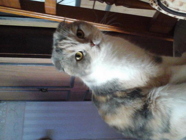 Кошка. Шотландская вислоухая (длинношерстная). Вязка в Тюмени