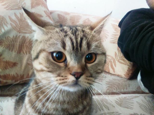 Кошка. Шотландская вислоухая (длинношерстная).  в Томске