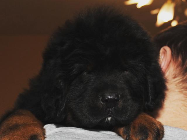 Собака. Тибетский мастиф (До-Кхый). Продаю в Черноголовке