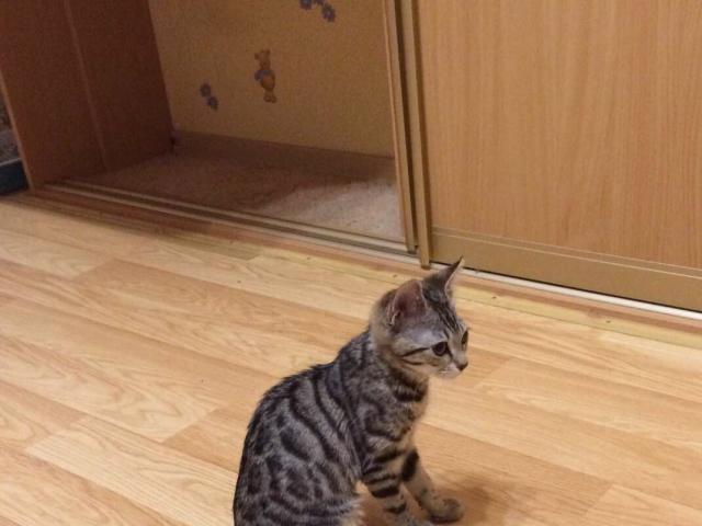 Кошка. Бенгальская короткошерстная. Отдам в дар в Перми