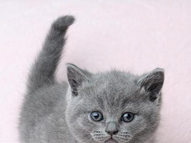 Кошка. Британская короткошерстная. Продаю в Барнауле
