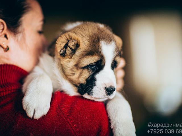 Собака. Среднеазиатская овчарка (Алабай). Продаю в Москве