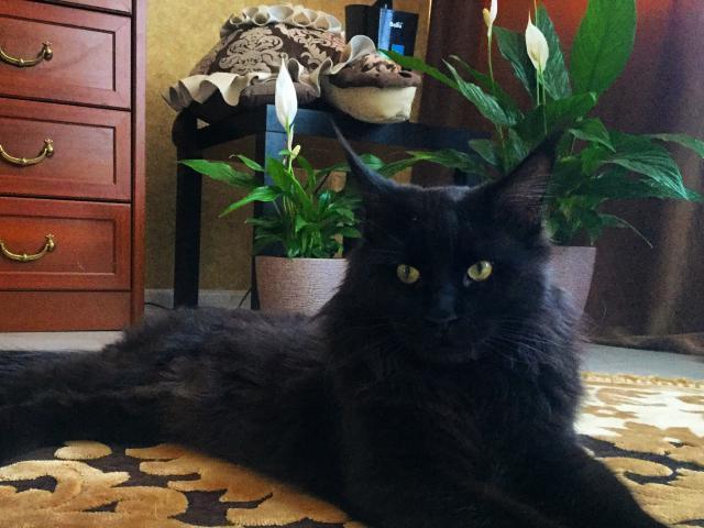 Скоттишстрайт Шотландская кошка фото цена описание