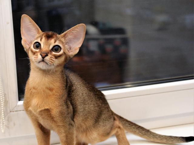 Абиссинский котенок (рег.CFA)
