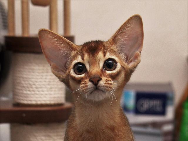 Кошка. Абиссинская. Продаю в Москве