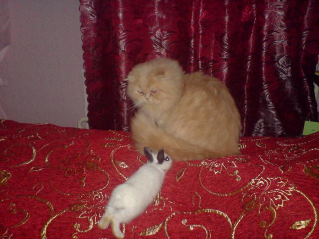 Кошка. Персидская. Вязка в Москве