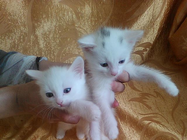 Кошка.  Беспородные и метисы . Отдам в дар в Новосибирске