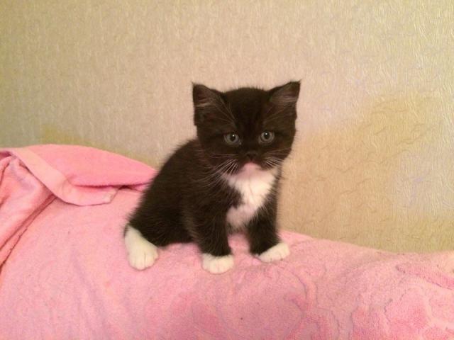 Кошка. Британская длинношерстная. Продаю в Санкт-Петербурге