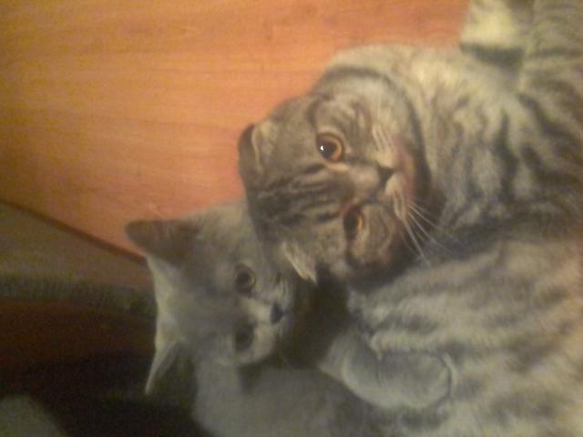 Кошка. Шотландская вислоухая (короткошерстная). Вязка в Верее