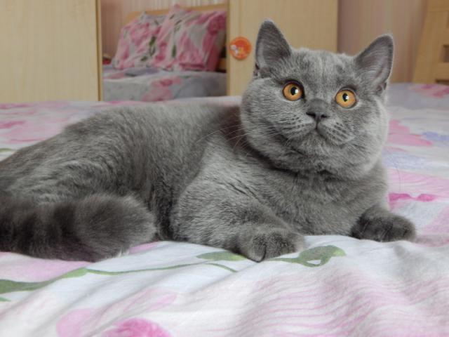 Кошка. Британская короткошерстная. Продаю в Минске